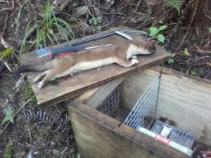 Large Stoat, Leigh Harbour Valley